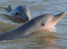 Suriname, One Day Tour: Dolfijnen Spotten bij Zonsondergang