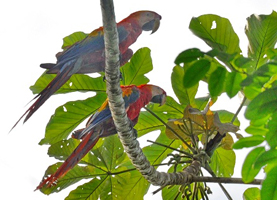 Suriname, One Day Tour: Vogels Spotten