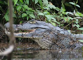 Suriname, One Day Tour: Caimans Tour In Combination With Dolphins Tour